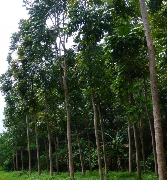 Mahagoni-Wald
