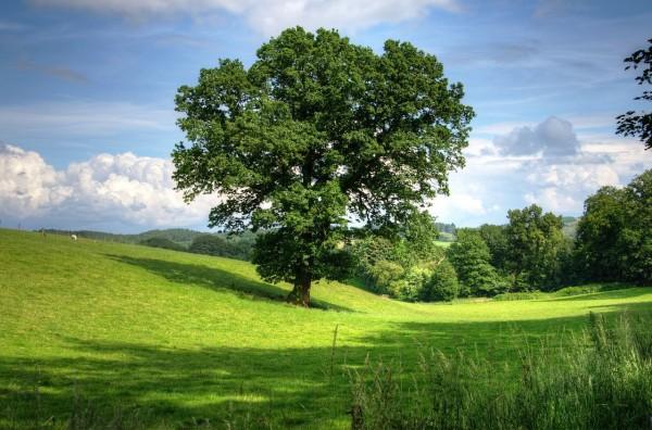 Eiche-Eichenholz-Eichenbaum
